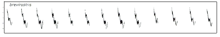 Sonograms of brevirostris  song, from Helbig et al. 1996.